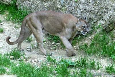 Photograph - Mountain Lion by Frank Townsley
