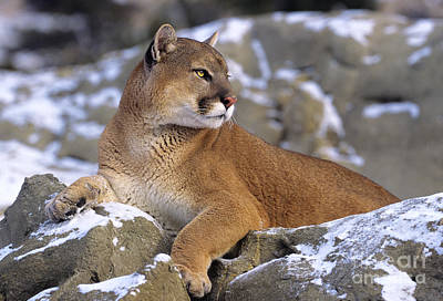 Photograph - Mountain Lion In Snow Felis Concolor by Dave Welling