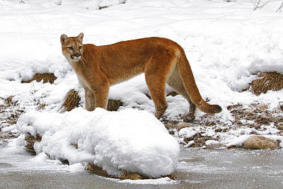 Photograph - Mountain Lion In Snow by Steve McKinzie