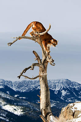 Mountain Lion In Tree Art Print