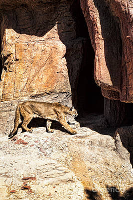 Photograph - Mountain Lion by Lawrence Burry