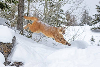 Photograph - Mountain Lion Leap by Jack Bell