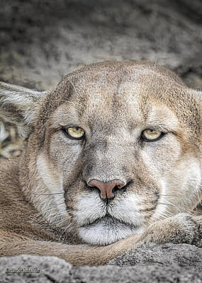 Photograph - Mountain Lion  by LeeAnn McLaneGoetz McLaneGoetzStudioLLCcom