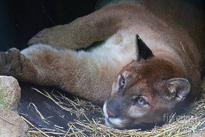 Photograph - Mountain Lion by Monica Whaley