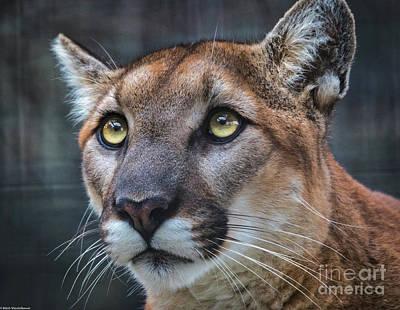 Photograph - Mountain Lion Portrait  by Mitch Shindelbower