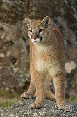Photograph - Mountain Lion Pose by Tibor Vari