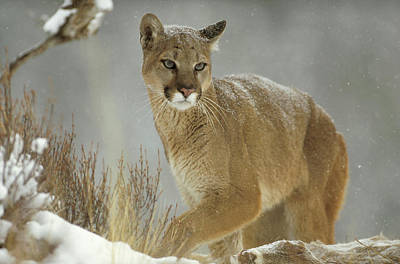 Puma Photograph - Mountain Lion Puma Concolor Adult by Tim Fitzharris