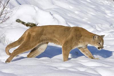 Mountain Lion Puma Concolor Hunting Art Print by Matthias Breiter