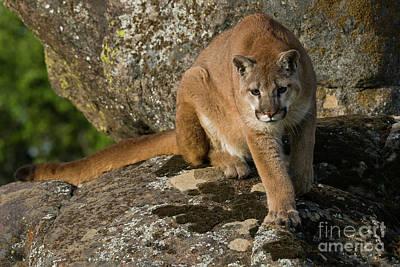 Photograph - Mountain Lion Stalking  by Tibor Vari
