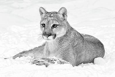 Photograph - Mountain Lion Winter by Athena Mckinzie