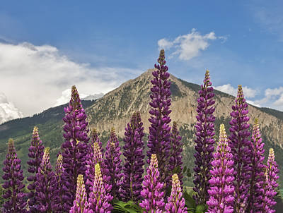 Photograph - Mountain Lupine by Loree Johnson