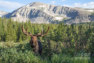 Photograph - Mountain Moose by Chris Scroggins