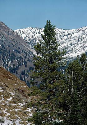 Photograph - Mountain Pine by John Schneider