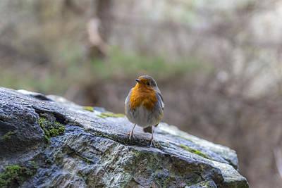 Photograph - Mountain Robin by Glen Sumner