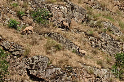 Photograph - Mountain Sheep Hell Canyon by Robert Bales