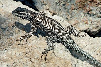 Photograph - Mountain Spiny Lizard by Frank Townsley
