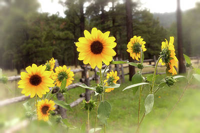 Photograph - Mountain Sunflowers by Rick Furmanek