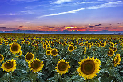 Mountain Sunset Over Sunflower Fields Art Print by Teri Virbickis