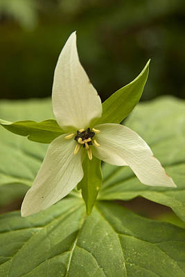 Photograph - Mountain Trillium by Peter Skiba