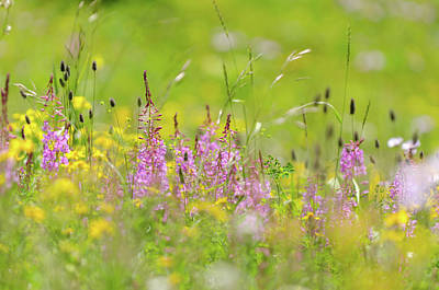 Photograph - Mountain Wildflowers by Margaret Goodwin