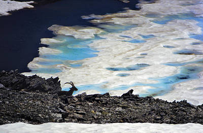 35 Mm Photograph - Mountains Wildlife Mountain Goat In A Lake At More Than 3000 Meters High. by Guido Montanes Castillo