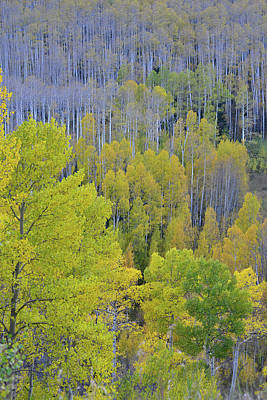 Photograph - Mountainside Of Aspens At Woods Lake by Ray Mathis