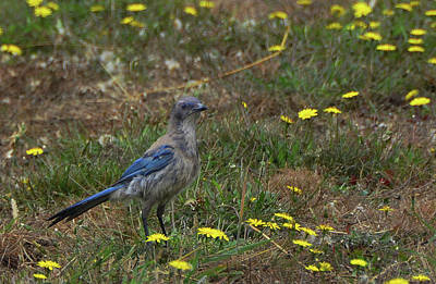 Photograph - Mountan Bluebird Among Yellow Flowers by Carla Parris