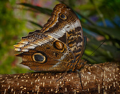 Photograph - Mournful Owl Butterfly by Murray Bloom