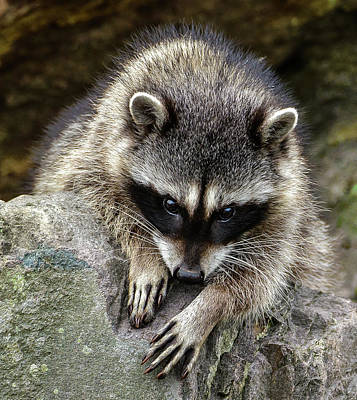 Photograph - Mournful Raccoon by Jerry Cahill