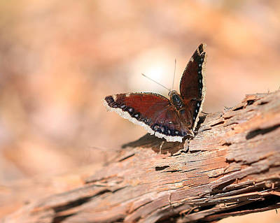 Photograph - Mourning Cloak Butterfly by Angela Murdock