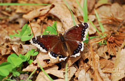 Photograph - Mourning Cloak Butterfly - Butterfly Of Spring by Kerri Farley