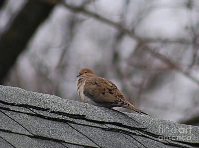 Photograph - Mourning Dove 20120318_1a by Tina Hopkins