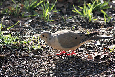 Photograph - Mourning Dove At Dawn by Sheila Brown