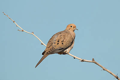 Photograph - Mourning Dove Balance by Loree Johnson