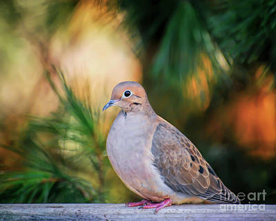Art Print featuring the photograph Mourning Dove Bathed In Autumn Light by Kerri Farley of New River Nature