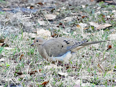 Florida Wildlife Photograph - Mourning Dove by Chris Mercer