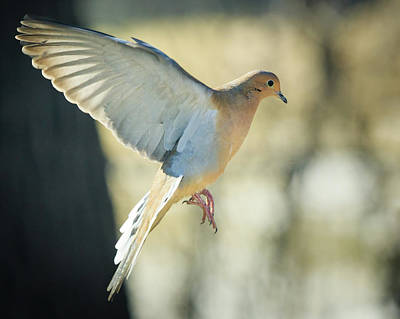 Photograph - Mourning Dove Coming In For A Landing by Joni Eskridge