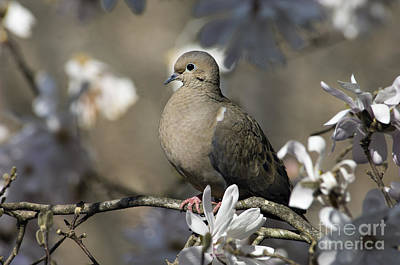 Photograph - Mourning Dove - D009888 by Daniel Dempster
