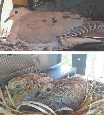 Photograph - Mourning Dove Family by Jay Milo