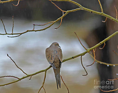 Photograph - Mourning Dove by Gary Wing