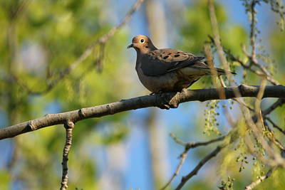 Photograph - Mourning Dove by Gerald Salamone