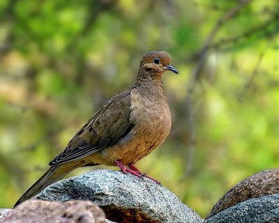 Photograph - Mourning Dove H1854 by Mark Myhaver