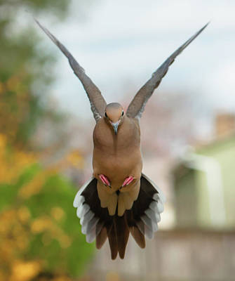 Photograph - Mourning Dove Hover Mode by Jim Moore