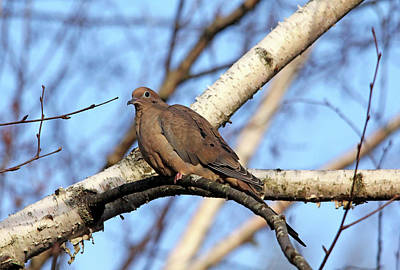 Photograph - Mourning Dove In Birch Tree by Debbie Oppermann