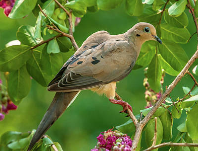 Photograph - Mourning Dove In Crepe Myrtle by Jim Moore