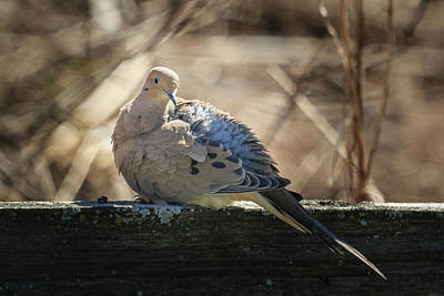 Photograph - Mourning Dove In Spring by Joni Eskridge