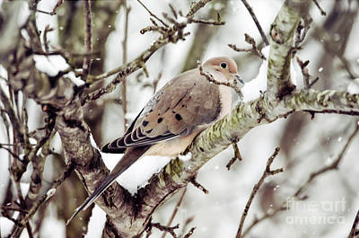 Photograph - Mourning Dove In The Snow by Kerri Farley