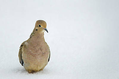 Photograph - Mourning Dove In The Snow by Susan McMenamin