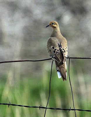 Photograph - Mourning Dove by Karon Melillo DeVega