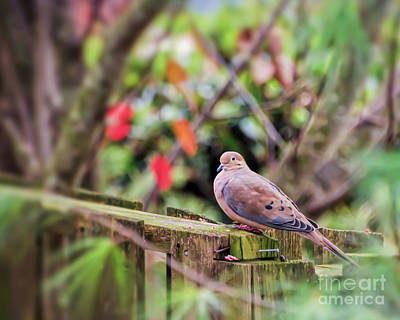 Photograph - Mourning Dove by Kerri Farley